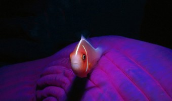 Alone and No Place to Go Juvenile Skunk Clownfish   Solomon Islands