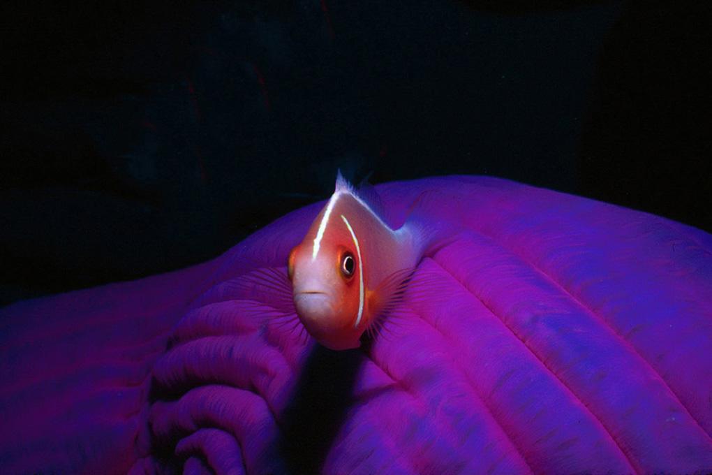 1020-Juv-Skunk Clownfish