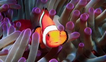 Who's There? Percula Clownfish/Anemone | Fiji