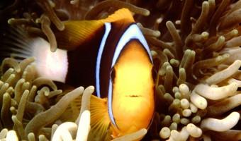 I Sea You Seabae Clownfish | Truk Lagoon, Micronesia