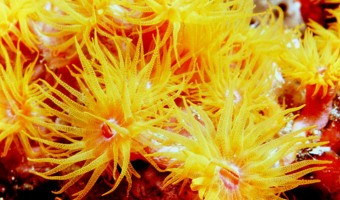 Something In Yellow Rose/Cup Coral   Fiji