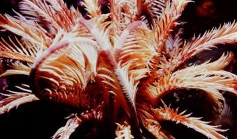 Whisp-er-or Crinoid Starfish   Solomon Islands