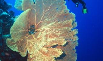 I'm A Big Fan Sea Fan | Ponepe, Micronesia