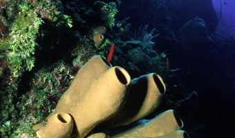 Clay Pots Brown Tube Sponges | Rum Cay, Bahamas