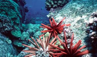 Charge Of The Pencil Brigade Pencil/Slate Urchins | Kona, Hawawii