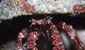 Old Blue Eyes is Back Hermit Crab   San Salvador, Bahamas