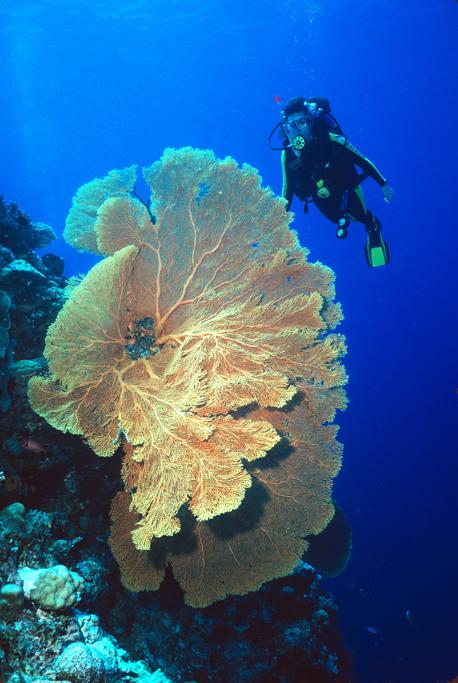 Giant Sea Fan-Ponepe